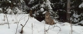 Canadian Lynx on Two Island Lake - photo Zachary Leppanen
